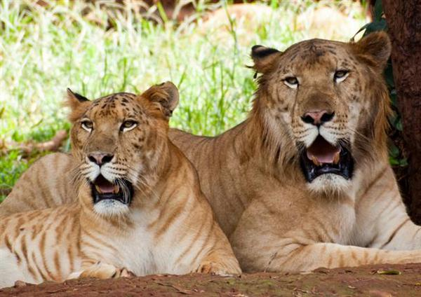 What Are Ligers – Articleblog info