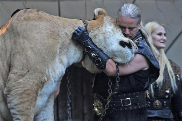 Liger Loves its Master. Liger is a Loving Carnivore.