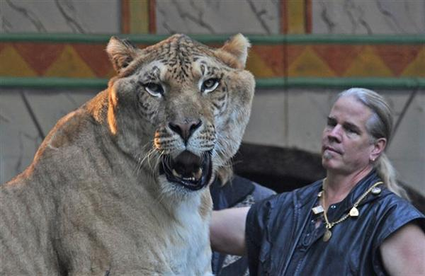 Ligers can maintain a speed of 80 kilometers per hour.