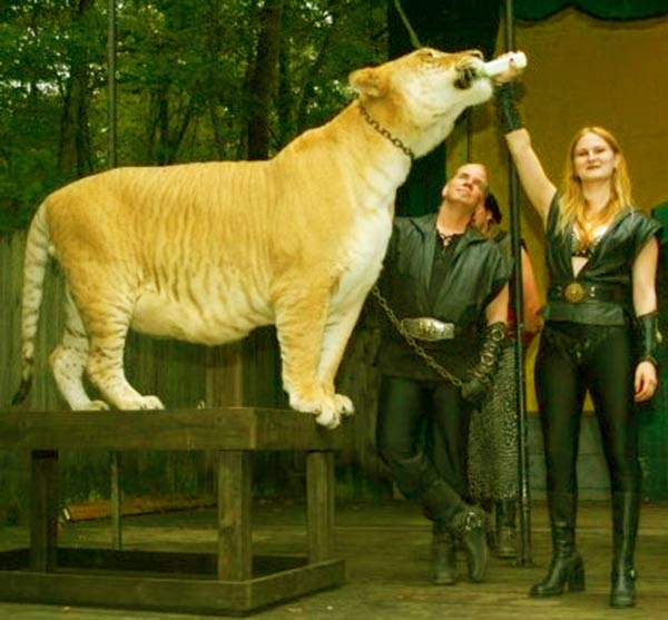 China York with Hercules the liger at King Richards Faire at Carver, Massachusetts, USA.