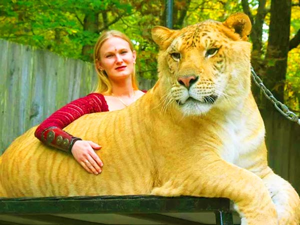China York has raised Hercules the liger since he was a small cub.