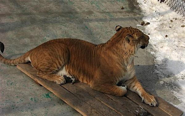 Biggest liger of China is sitting on a wooden stool while it is snowing in China.
