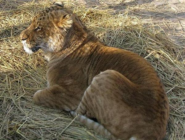 Liger Cub Lazily Sleeping in Chinese Hainan Province.
