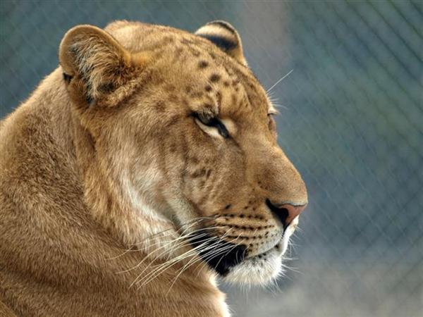 Liger Miami Zoo