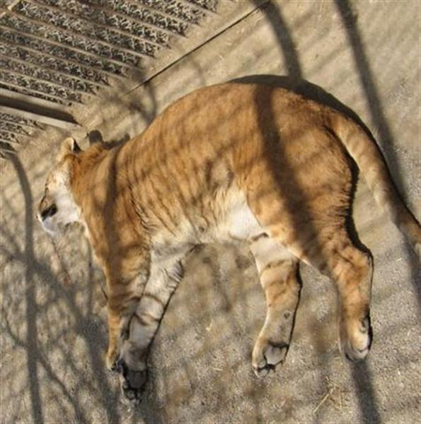 Liger Sleeping in a Chinese Zoo.