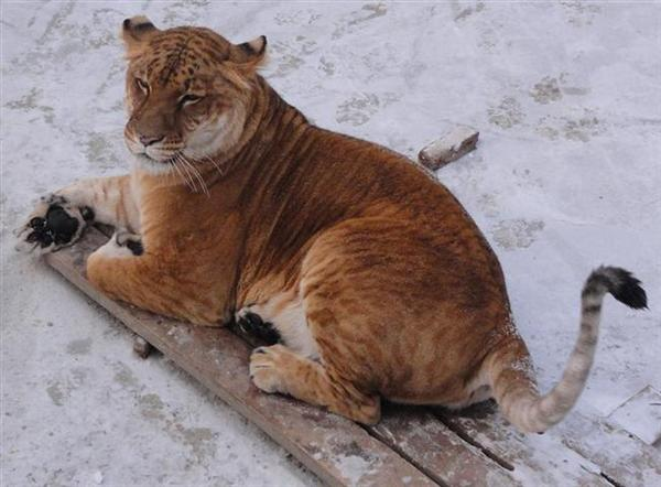Ligers Puffy Tail resembling it with tail of a lion.