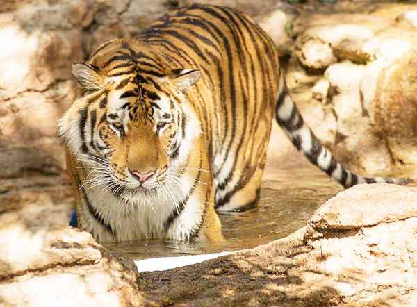 Tigress record births for a Ligers. The name of the Tigress is Huan Huan.