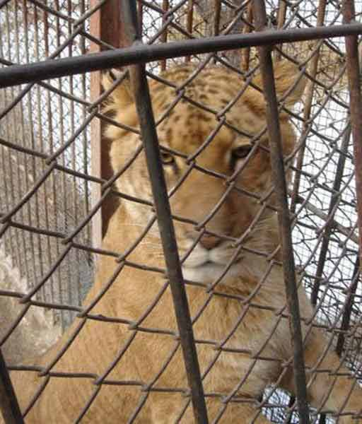 Liger Cruelty is common around the world.