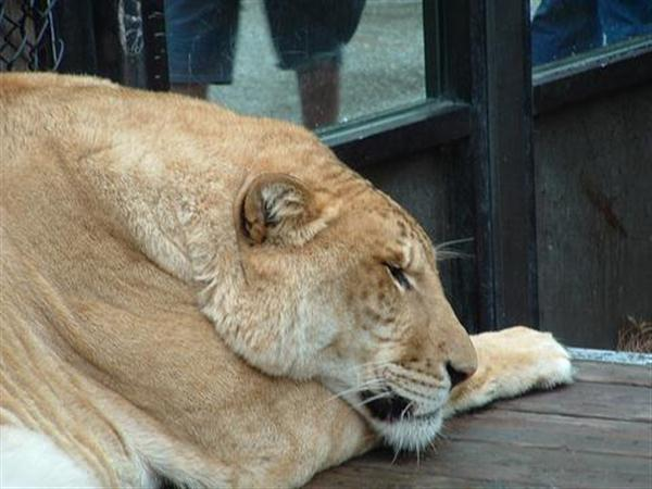 Ligers are believed to be living in Poor Conditions.