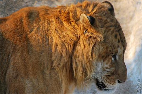 Ligers face life dangers through smuggling as the animal is sedated which may cause death of the ligers too.
