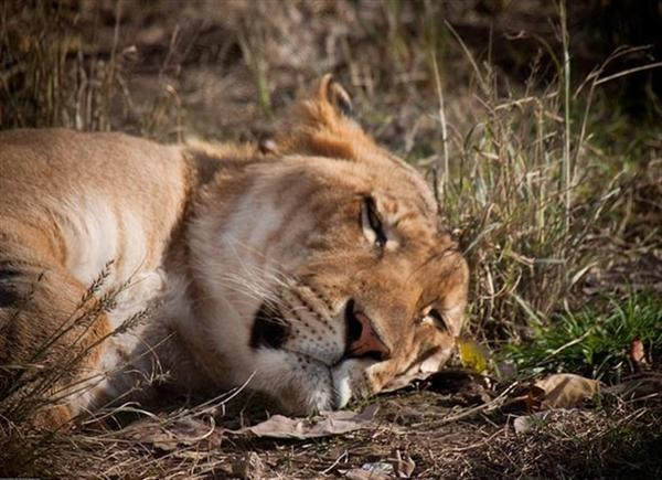 Liger Cub lying on a barren grass.