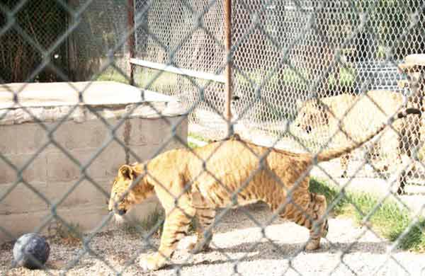 Liger Cub miami. Miami is the home to the largest numbers of ligers in the world.