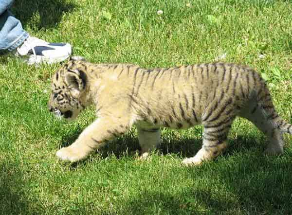 Liger Cub Oden Walking at Myrtle Beach Safari, Miami United States.