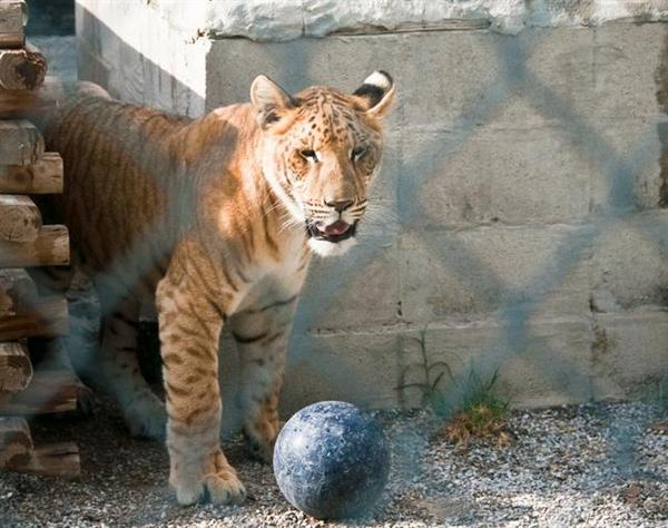 Liger Cub of 120 Days Weighs around 40 Pounds.