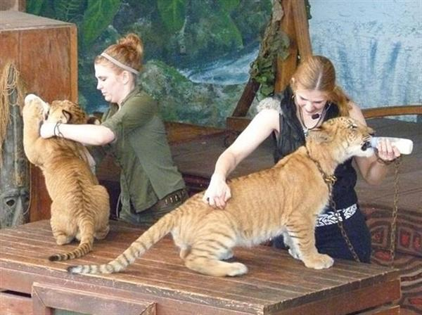 Liger cubs fed by their care-takers.