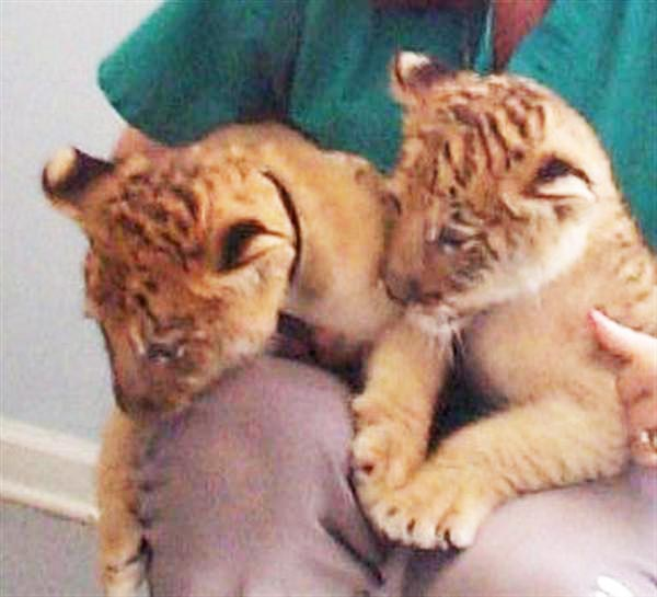 Liger Cubs Malinka & Leloo. These Liger Cubs live in Miama USA.