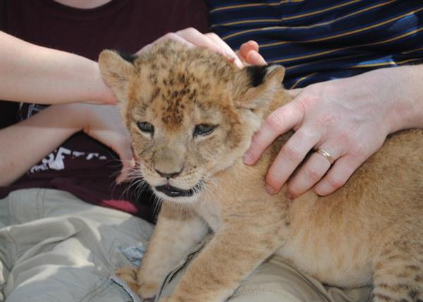 Liger Cubs Training. This liger Training helps to build their future behavior and interaction.