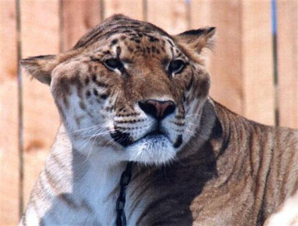 Samson the liger died because of kidney failure.