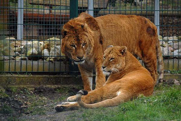 Liger Pair at Noah Ark Zoo within Germany.