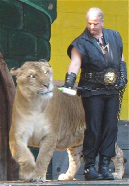 Ligers are Healthy according to liger expert Doctor Bhagavan Antle.