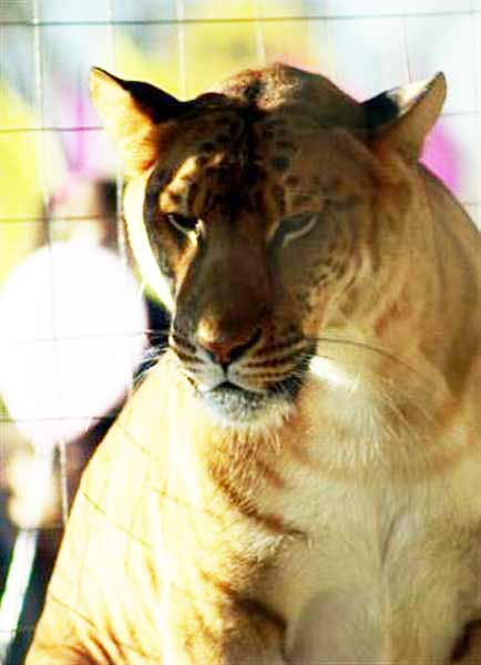 Liger Breeding and Ethical Questions about liger Breeding.