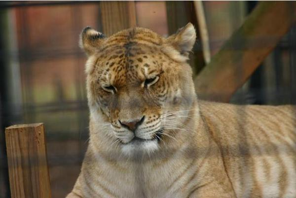 Female Ligers are equal to Male Lions and Tigers.