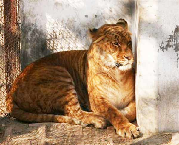 Liger Chromosome X and Y. Chromosome X is a Male African Lion for Liger, Chromosome Y is the Female Tiger for Liger.