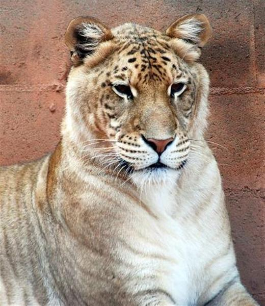 Ligers grow faster than lions and tigers. Liger Cubs Grow faster.