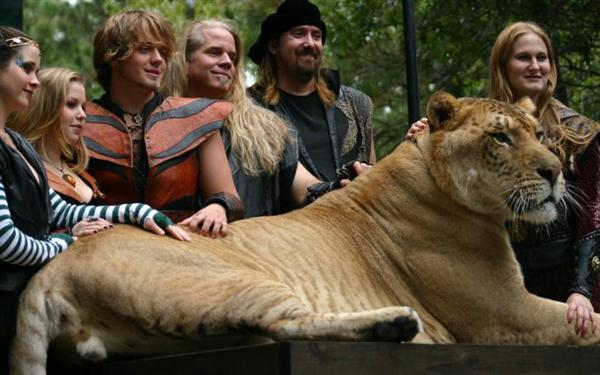 Ligers lack growth Inhibiting Genes in their bodies. This allows them to grow big and fast.