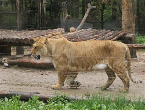 Liger Growth is amazing. Liger Grow Taller, Faster and heavier.