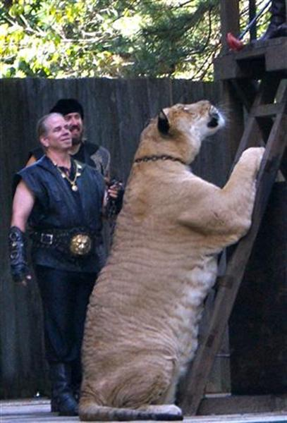 Ligers are highly active. Liger runs faster.