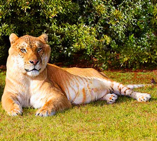 Hercules the Liger at Guiness Book of World Records during the year 2009/2010 and year 2013/2014.