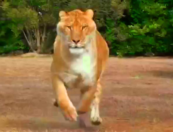Liger Hercules can run at a speed of 60 miles per hour.