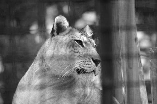 Ligers Rumor in Japan says that they have defects and a lot of diseases.