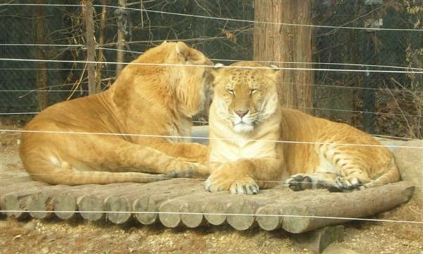 Korean Ligers Sitting at Everland Zoo in South Korea