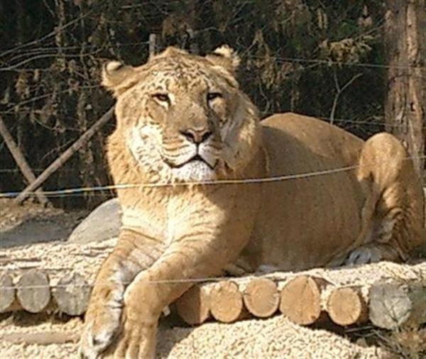 Liger in Korea was born without Insemination Treatment.