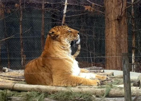 Liger in Korean Zoo Watching other Tigers in the preserve