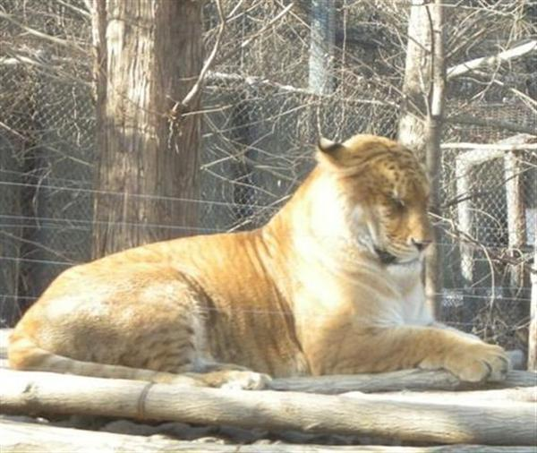 Liger Resting at Yongin Zoo in South Korea.