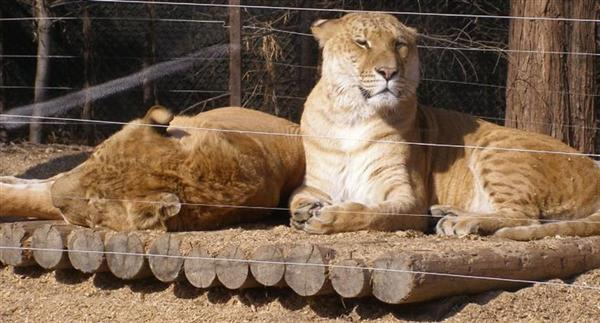 Ligers taking sunshine at Everland Zoo in South Korea.