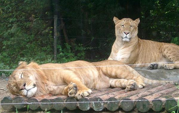 Twin Korea Ligers at an Everland Zoo in South Korea