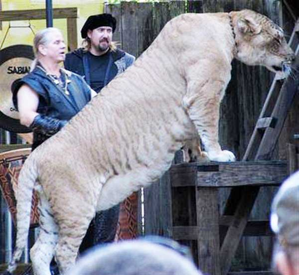 Ligers Continue to grow until they reach their Maturity stage of their Lifecycle.