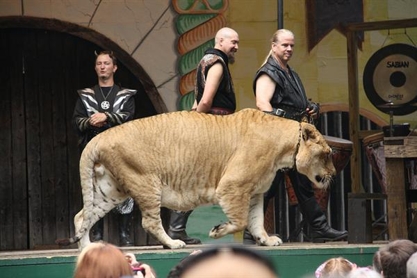 Ligers have a normal lifespan just like tigers and lions in captivity.