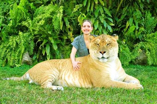 Moksha Bybee Is A Liger Expert At Myrtle Beach Safari South Carolina