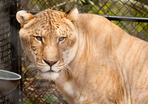 Liger Nook Lived with Siberian Tiger in its Cage.
