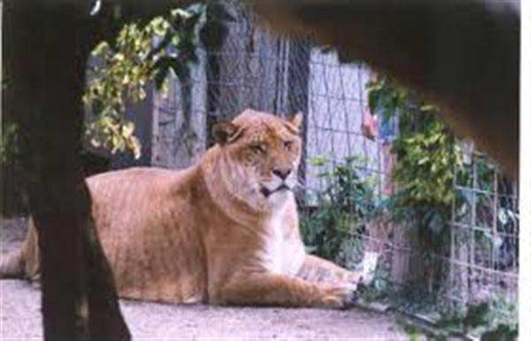 Liger Nook Weighed 1400 Pounds.