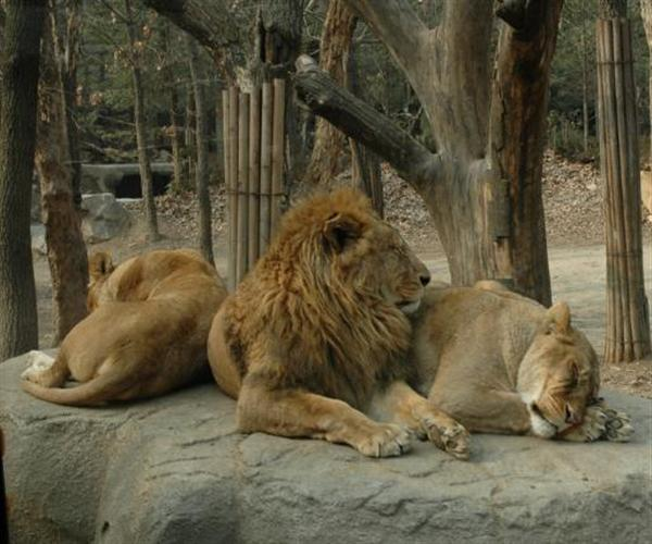 Ligers have parent lion behavioral genetics such as living together as being socialized.
