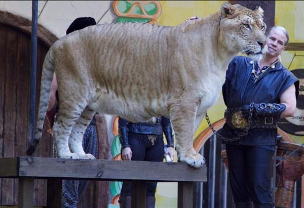 A Liger has a mixed behavior of its parents e.g., lion and tiger.