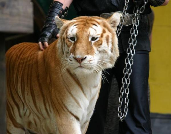 Ligers have the genes of its parent tiger such as swimming.