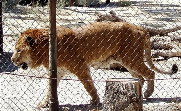 Patrick the Liger patroling and moving around the animal sanctuary in United States.
