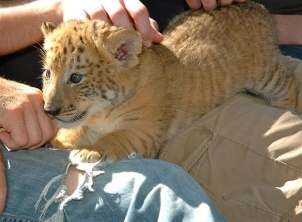 Liger Cub Petting at Myrtle Beach Safari, South Carolina, USA.
